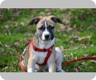 Boxer Mix Puppy for adoption in Pittsboro, North Carolina - Jane