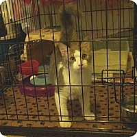 Domestic Mediumhair Kitten for adoption in Miami, Florida - Cherokee