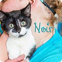 Adopt A Pet :: Noir - Somerset, PA