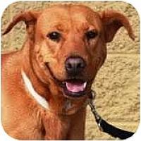 Adopt A Pet :: Brownie - Gilbert, AZ