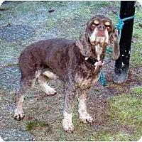 Adopt A Pet :: Patsy - Tacoma, WA