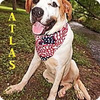 Adopt A Pet :: Atlas - Converse, TX