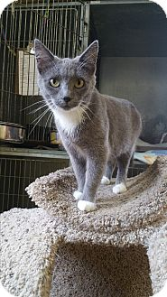 Domestic Shorthair Cat for adoption in Baudette, Minnesota - HAZEL