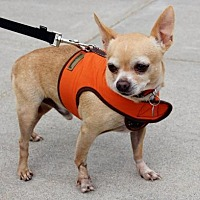 Chihuahua Dog for adoption in Centreville, Virginia - Petey
