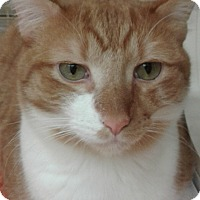 Adopt A Pet :: Creamsicle - Stafford, VA