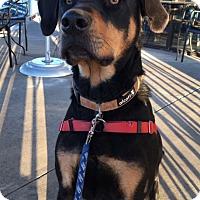 Adopt A Pet :: BRONSON - Gustine, CA