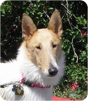 Collie Puppy for adoption in San Diego, California - Riley