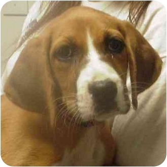 Boxer Mix Puppy for adoption in Manassas, Virginia - Chloe