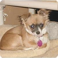 Adopt A Pet :: Pebbles - Rigaud, QC
