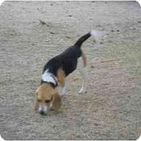 Adopt A Pet :: Zoey Lee - Phoenix, AZ