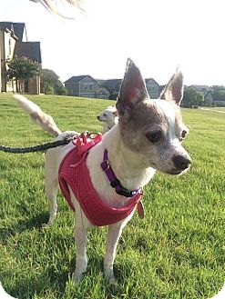 Chihuahua Mix Dog for adoption in San Antonio, Texas - Penelope