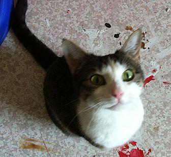 Domestic Shorthair Cat for adoption in St. Louis, Missouri - Gemini