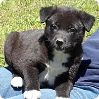 Akita/Australian Shepherd Mix Puppy for adoption in Williamsport, Maryland - Patriot (6 lb) Video