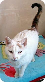 Domestic Mediumhair Cat for adoption in Salem, Ohio - Sammy