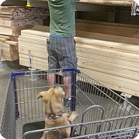 Adopt A Pet :: Caramel Cadbury - Alamogordo, NM
