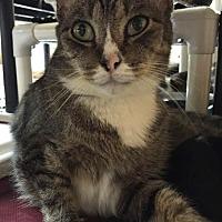 Domestic Shorthair Cat for adoption in Boca Raton, Florida - Espresso