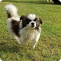 Adopt A Pet :: Sinatra - San Antonio, TX