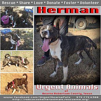 Akita Mix Dog for adoption in Hearne, Texas - Herman