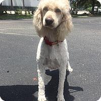 Adopt A Pet :: Margot - Goldendoodle - St. Petersburg, FL