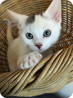 Domestic Shorthair Kitten for adoption in Meridian, Idaho - Snowflake