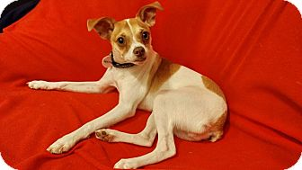 Chihuahua/Boston Terrier Mix Dog for adoption in Astoria, New York - Squirrel: Adoption Pending