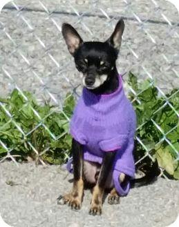 Chihuahua Mix Dog for adoption in Urbana, Ohio - Chip