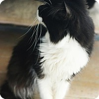 Maine Coon Cat for adoption in Grand Ledge, Michigan - Madhu