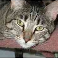 Domestic Shorthair Cat for adoption in Pasadena, California - Hersis