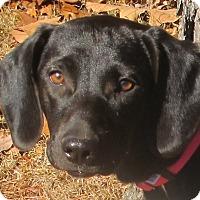 Adopt A Pet :: Aimie - Plainfield, CT