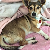 Corgi Mix Dog for adoption in Haggerstown, Maryland - Amelia