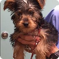 Adopt A Pet :: PEPE' - Fort Lauderdale, FL