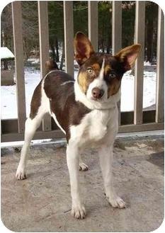 Rat Terrier/Australian Kelpie Mix Dog for adoption in Mocksville, North Carolina - Beckett