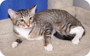 Domestic Shorthair Cat for adoption in Colorado Springs, Colorado - K-Lori1-Ying