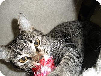 Domestic Shorthair Cat for adoption in Milwaukee, Wisconsin - Gia