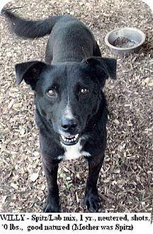 Spitz (Unknown Type, Medium)/Labrador Retriever Mix Puppy for adoption in Moulton, Alabama - Willy