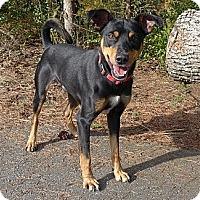 Adopt A Pet :: Gambit - Mocksville, NC
