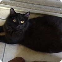 Adopt A Pet :: Black Orchid - Naples, FL