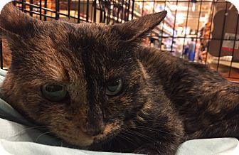 Domestic Shorthair Cat for adoption in Greensburg, Pennsylvania - Minnie