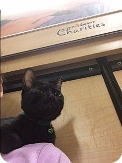 Bombay Kitten for adoption in Palm Springs, California - Seth
