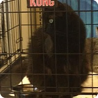 Domestic Longhair Cat for adoption in Alamo, California - Holly
