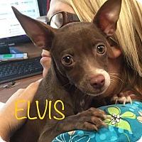 Adopt A Pet :: Elvis - Nanuet, NY