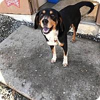 Beagle Mix Dog for adoption in Cadiz, Ohio - RANGER