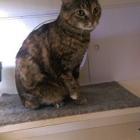 Domestic Shorthair Cat for adoption in Bridgeton, Missouri - Marble