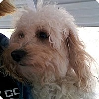 Adopt A Pet :: SnickerDoodle - Cumberland, MD