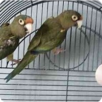 Adopt A Pet :: Squiggles - Fountain Valley, CA