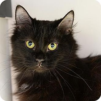 Domestic Longhair Cat for adoption in Denver, Colorado - Tres