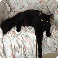 Domestic Longhair Cat for adoption in New Port Richey, Florida - Jazz