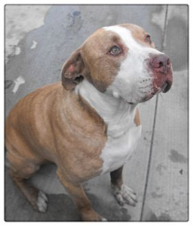 American Bulldog/Pit Bull Terrier Mix Dog for adoption in Santa Ana, California - Tommy