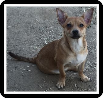 Dachshund/Chihuahua Mix Puppy for adoption in Winchester, California - LOGAN