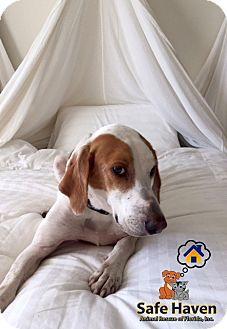 Foxhound/Treeing Walker Coonhound Mix Dog for adoption in Bradenton, Florida - Django